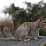 Squirrel- Repellents