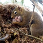 squirrel-family