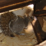 squirrel-in-attic