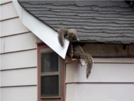 Squirrel Removal Toronto Squirrel Control Solutions